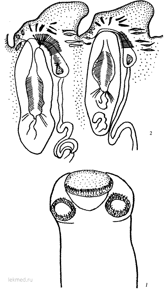 Raillietina allomyodes